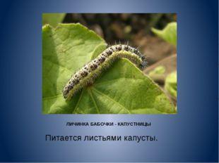 ЛИЧИНКА БАБОЧКИ - КАПУСТНИЦЫ Питается листьями капусты.