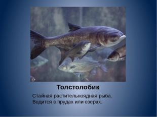 Толстолобик Стайная растительноядная рыба. Водится в прудах или озерах.