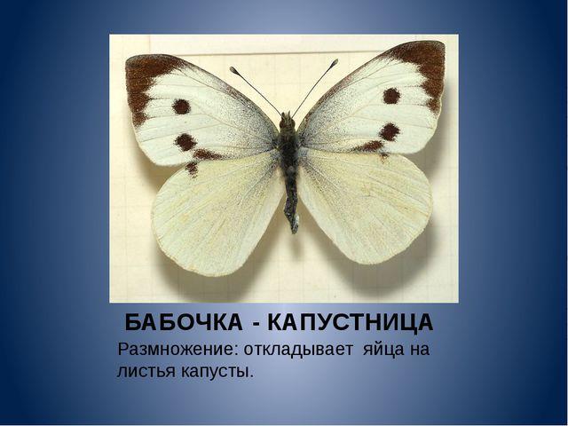 БАБОЧКА - КАПУСТНИЦА Размножение: откладывает яйца на листья капусты.