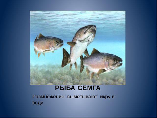РЫБА СЕМГА Размножение: выметывают икру в воду