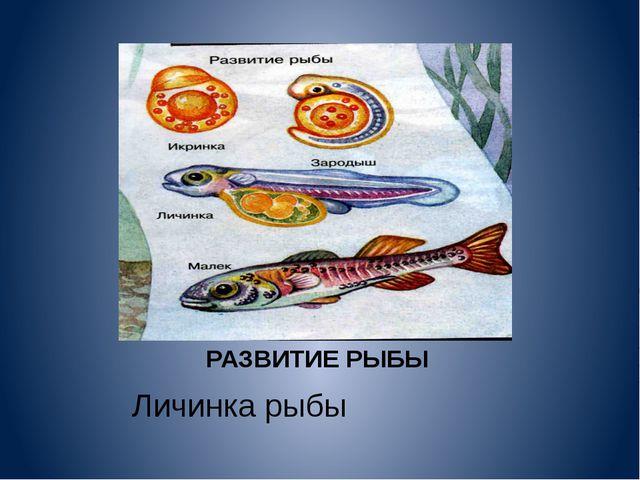 РАЗВИТИЕ РЫБЫ Личинка рыбы