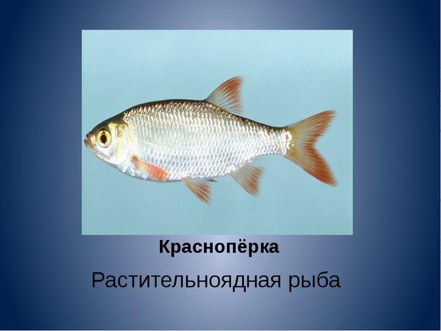 Краснопёрка Растительноядная рыба