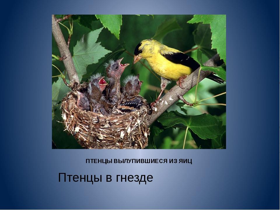 ПТЕНЦЫ ВЫЛУПИВШИЕСЯ ИЗ ЯИЦ Птенцы в гнезде