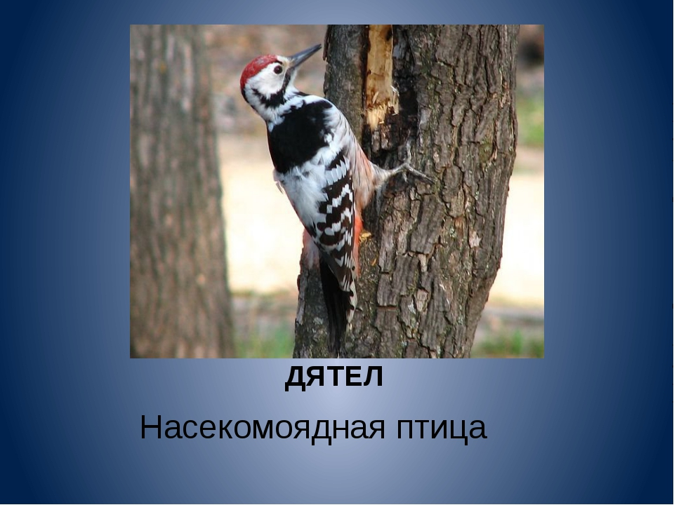 ДЯТЕЛ Насекомоядная птица