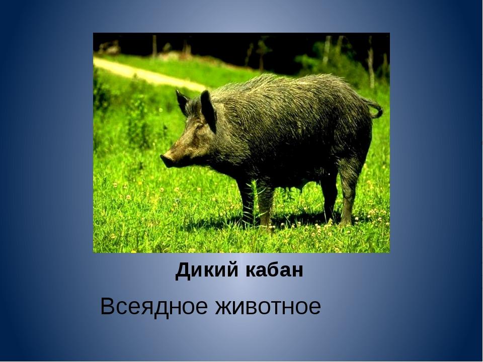 Дикий кабан Всеядное животное