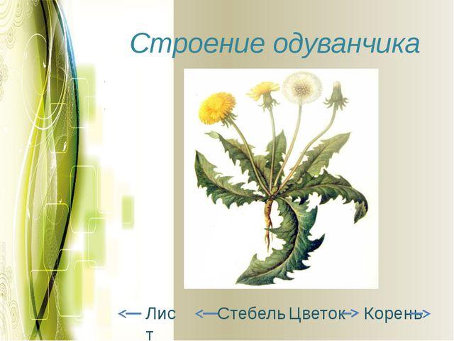 Строение одуванчика Корень Цветок Лист Стебель