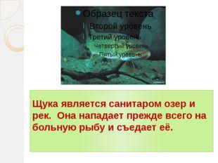 Щука является санитаром озер и рек. Она нападает прежде всего на больную рыбу