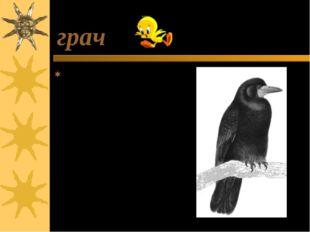 грач Грач-это перелётная птица, которая прилетает к нам первой. О граче говор