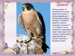 Птица шахин . В Заилийском Алатау известны только 3 гнезда редкой для Казахст