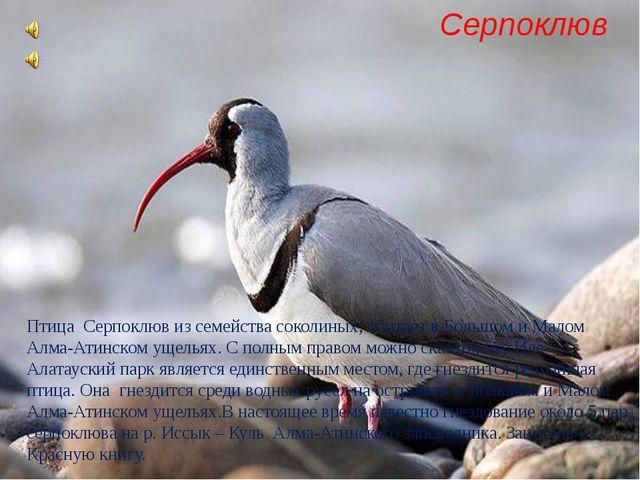 Птица Серпоклюв из семейства соколиных, обитает в Большом и Малом Алма-Атинск...