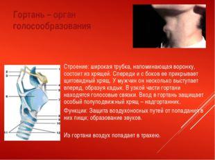 Гортань – орган голосообразования Строение: широкая трубка, напоминающая воро