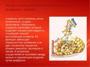 Легкие человека состоят из мельчайших легочных пузырьков – альвеол. Альвеолы