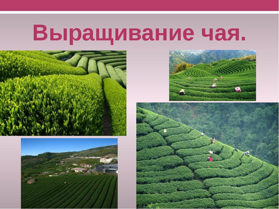 Выращивание чая.
