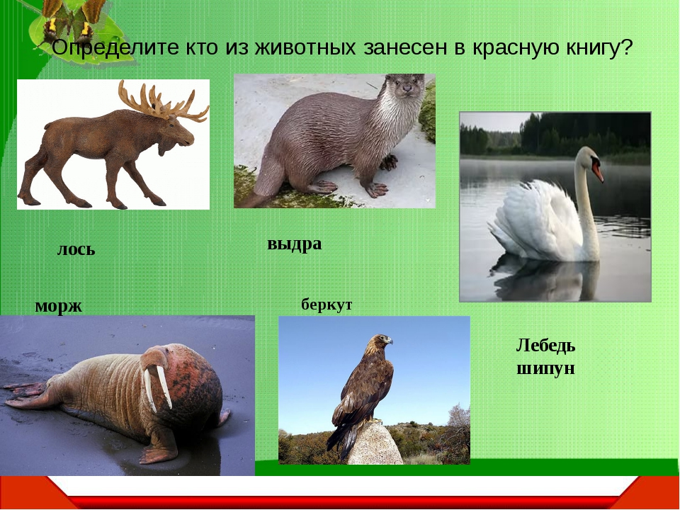 Определите кто из животных занесен в красную книгу? лось морж беркут выдра Ле...