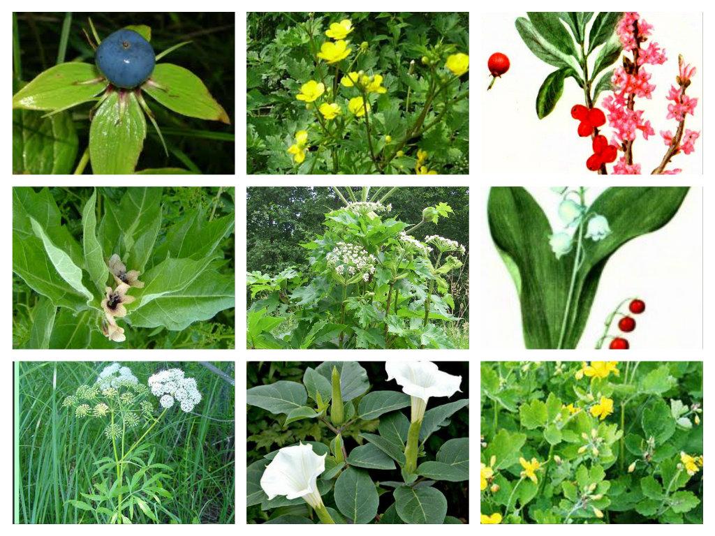 C:\Users\Olga\Desktop\СБОРНОЕ ДЕКАБРЬ 14\АНИМАШКИ. БЛОГ. САЙТ\ПРИРОДА\ПРИРОДА\Ядовитые растения\pizap.com14026599646171.jpg