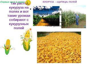 Так растёт кукуруза на полях и вот такие урожаи собирают с кукурузных полей