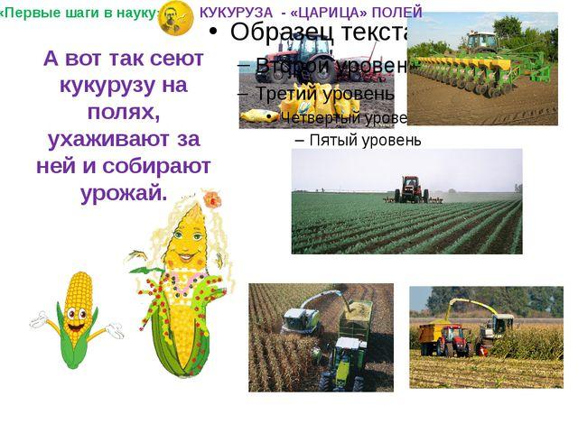 А вот так сеют кукурузу на полях, ухаживают за ней и собирают урожай. «Первые...