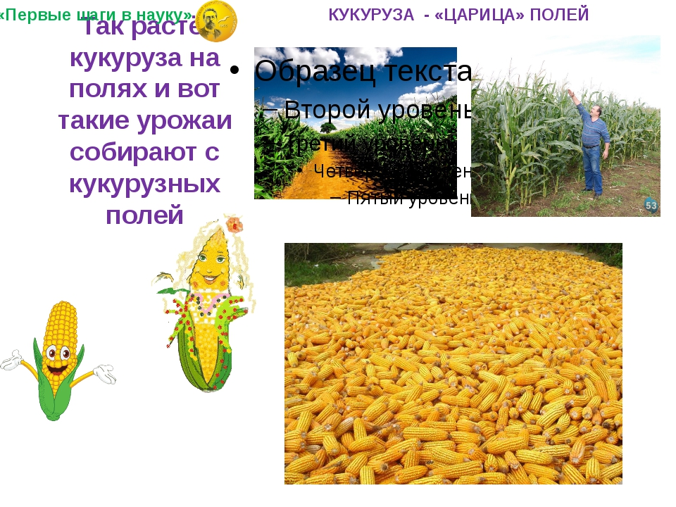 Так растёт кукуруза на полях и вот такие урожаи собирают с кукурузных полей...