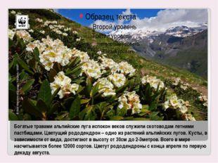 Богатые травами альпийские луга испокон веков служили скотоводам летними паст