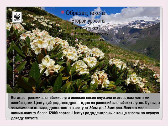 Богатые травами альпийские луга испокон веков служили скотоводам летними паст...