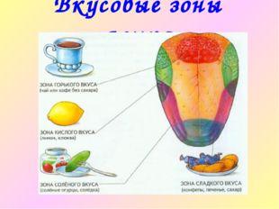 Вкусовые зоны языка