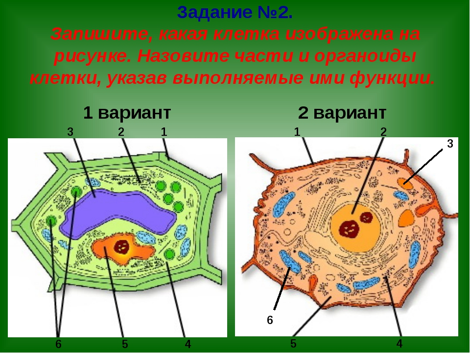Задание №2. Запишите, какая клетка изображена на рисунке. Назовите части и ор...