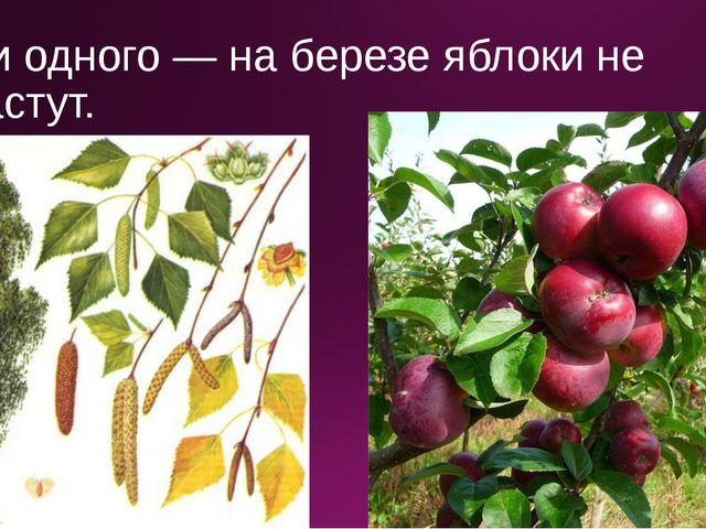 Ни одного — на березе яблоки не растут.