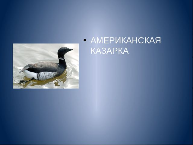 АМЕРИКАНСКАЯ КАЗАРКА