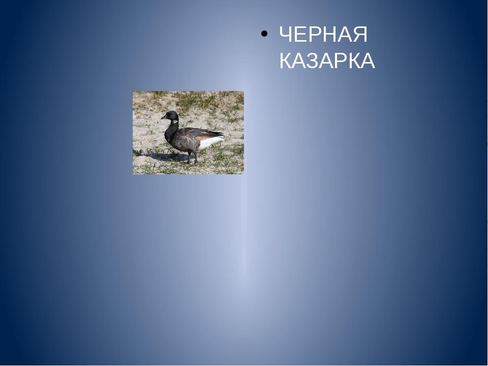 ЧЕРНАЯ КАЗАРКА