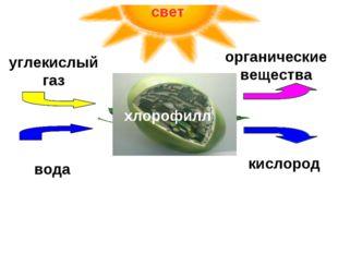 хлорофилл углекислый газ вода органические вещества кислород