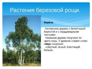 Растения березовой рощи. Берёза. Лиственное дерево с белой корой берестой и с
