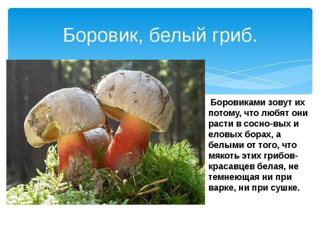 Боровик, белый гриб. Боровиками зовут их потому, что любят они расти в сосно...