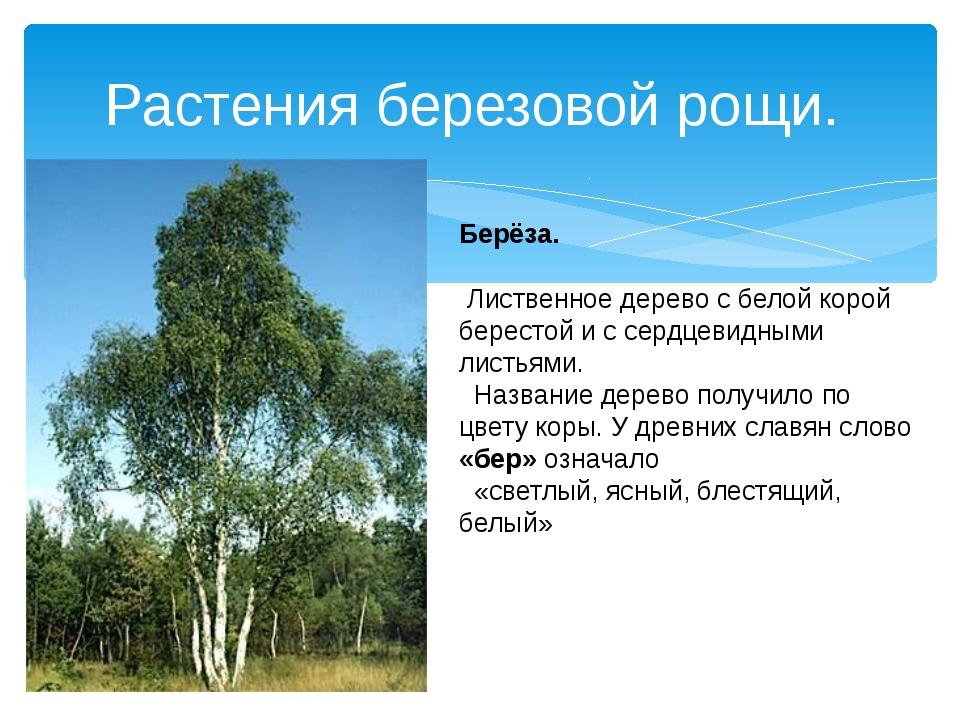 Растения березовой рощи. Берёза. Лиственное дерево с белой корой берестой и с...