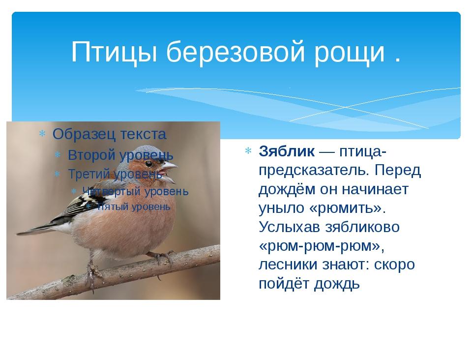 Птицы березовой рощи . Зяблик — птица-предсказатель. Перед дождём он начинает...