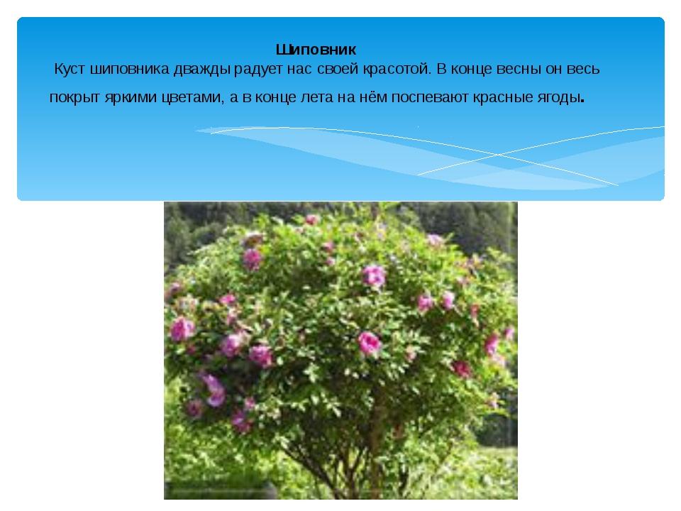 Шиповник Куст шиповника дважды радует нас своей красотой. В конце весны он ве...