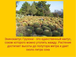 Эхинокактус Грузони - это единственный кактус, соком которого можно утолить ж