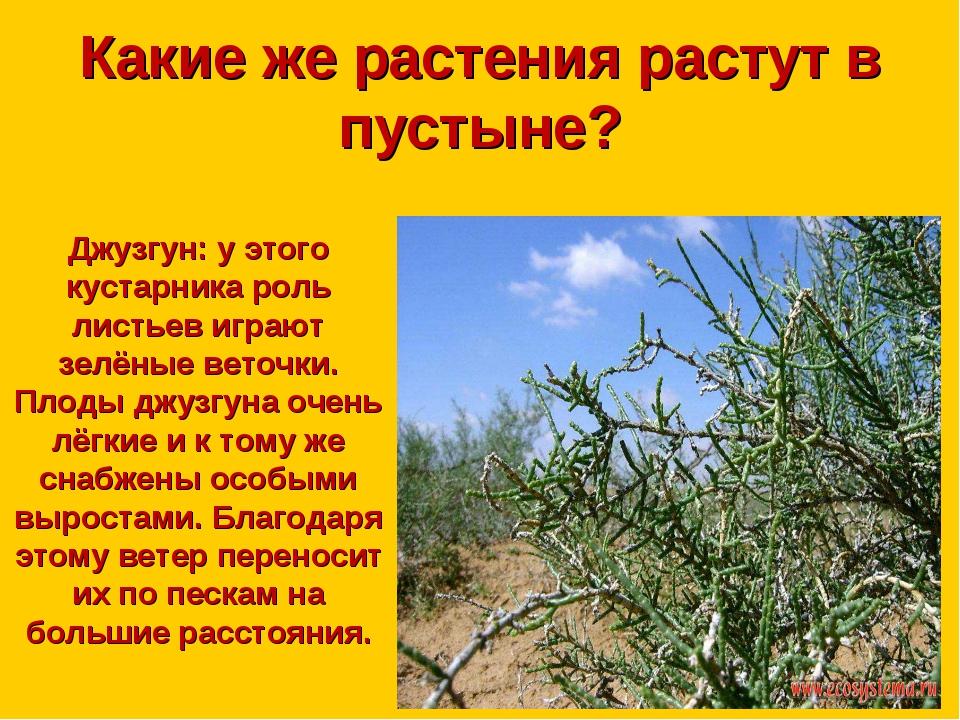 Какие же растения растут в пустыне? Джузгун: у этого кустарника роль листьев...