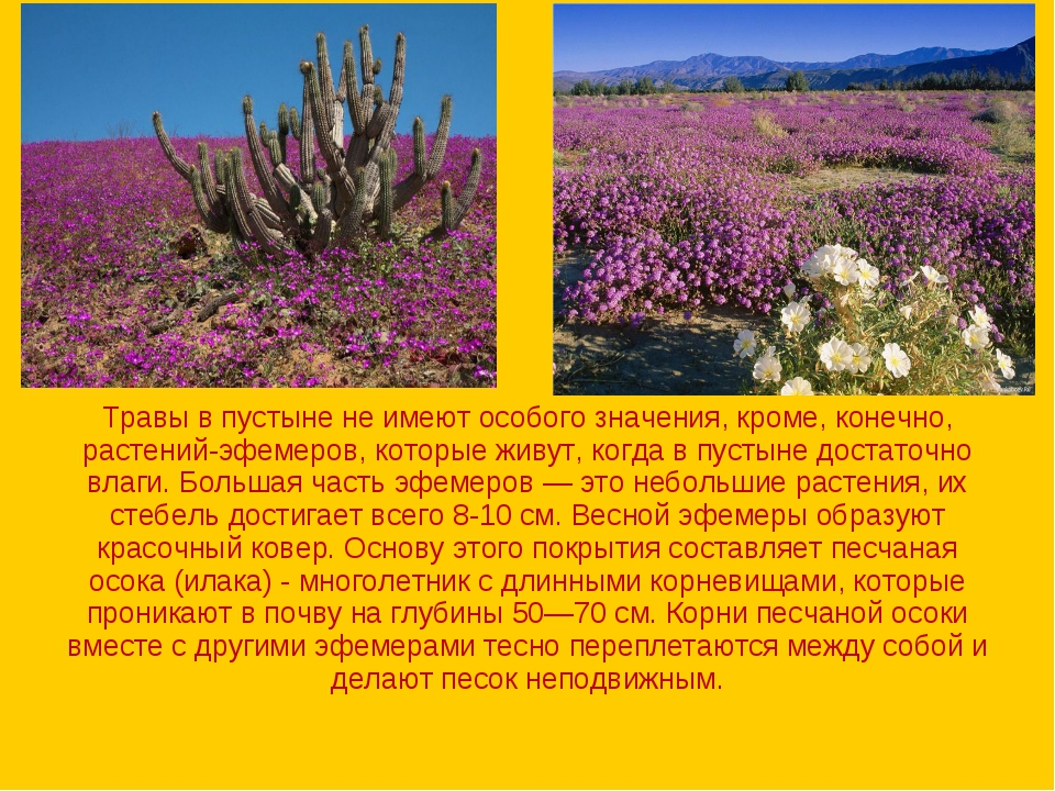Травы в пустыне не имеют особого значения, кроме, конечно, растений-эфемеров,...