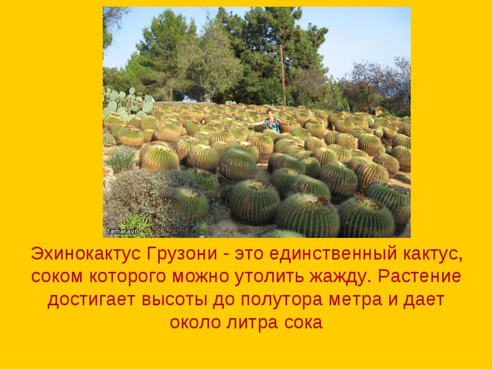 Эхинокактус Грузони - это единственный кактус, соком которого можно утолить ж...