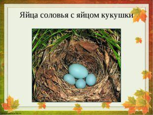 Яйца соловья с яйцом кукушки