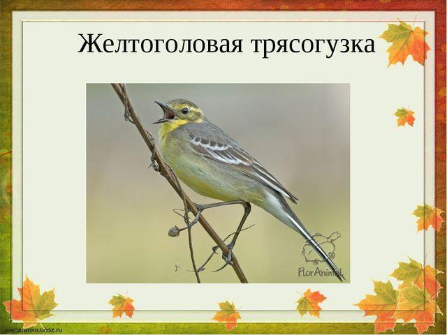 Желтоголовая трясогузка