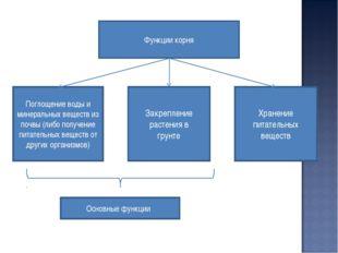 Функции корня Хранение питательных веществ Поглощение воды и минеральных веще