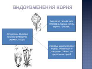 Корнеплод. Нижняя часть образована главным корнем, верхняя - стеблем. Корневы