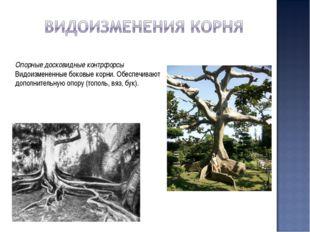 Опорные досковидные контрфорсы Видоизмененные боковые корни. Обеспечивают доп