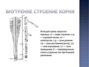 Молодой корень проростка пшеницы: А — схема строения: к.чх — корневой чехлик,