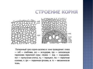 Поперечный срез корня касатика в зоне проведения: слева — эпб — эпиблема, эк