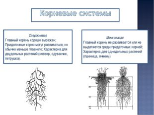Стержневая Главный корень хорошо выражен; Придаточные корни могут развиваться