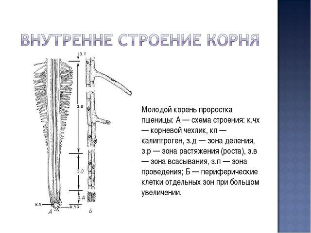 Молодой корень проростка пшеницы: А — схема строения: к.чх — корневой чехлик,...