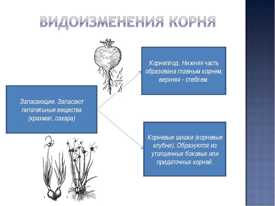 Корнеплод. Нижняя часть образована главным корнем, верхняя - стеблем. Корневы...