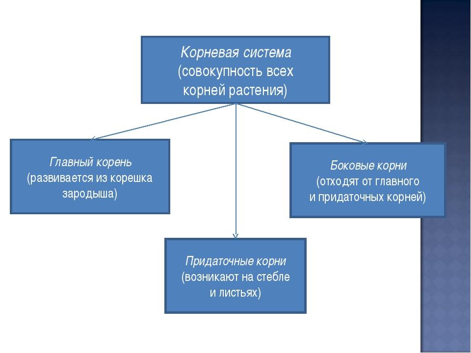 Корневая система (совокупность всех корней растения) Главный корень (развивае...